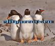 Пингвины  из питомников Испании, ФРГ