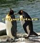 Пингвины  из питомников Испании,ФРГ - Изображение #2, Объявление #633446