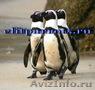 Пингвины  из питомников Испании,ФРГ - Изображение #3, Объявление #633446