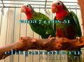 Кубинский амазон - ручные птенцы из питомников ФРГ