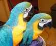 Пара рук подняли сине-золотой попугаи ара