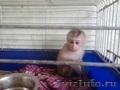 заведите обезьянку макак-лапундер - Изображение #2, Объявление #754373