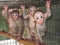 заведите обезьянку макак-лапундер