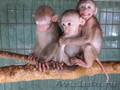 заведите обезьянку макак-лапундер - Изображение #3, Объявление #754373