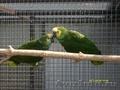 Амазон Синелобый - разводные пары