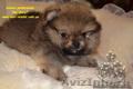 Элитные щенки померанского шпица эксклюзивных окрасов Тип-Медвежонок!