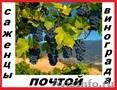 Саженцы винограда 68  зимостойких сортов почтой.