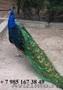 Продаю экзотических птиц