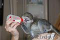 Продам ручных карликовых обезьянок для домашнего содержания, Объявление #1017012