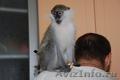Продам ручных карликовых обезьянок для домашнего содержания - Изображение #2, Объявление #1017012