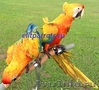 Гибриды попугаев ара   - птенцы выкормыши из питомников Европы, Объявление #1126633