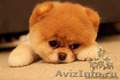 Эксклюзивные щенки карликового померанского шпица Тип-Мишки VIP-Classa