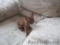 котята сибирской рыси