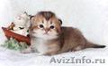 золотой дш британский котенок