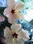 Гибискусы - комнатные растения
