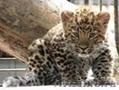 котята леопарда питомник ручные - Изображение #2, Объявление #1289952