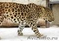 котята леопарда питомник ручные, Объявление #1289952