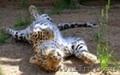 котята леопарда питомник ручные - Изображение #3, Объявление #1289952