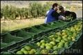 начался новый сезон фруктов - Изображение #7, Объявление #1321278