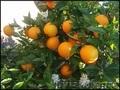 начался новый сезон фруктов  Испании - Изображение #2, Объявление #1321294