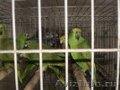Попугаи Амазоны.