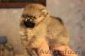 Красивые,  породистые щенки померанского шпица
