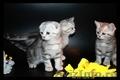 Британские,  Шотланские котята–большой выбор