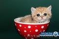 SSD - Питомник кошек в москве - продажа котят ...