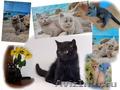 Британские котята лиловые,  голубые,  черные