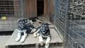 Продаю восточноевропейских клубных щенков.