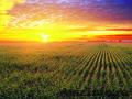 Продам фуражную кукурузу 6 000 тонн - Изображение #6, Объявление #1576524