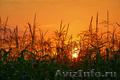 Продам фуражную кукурузу 6 000 тонн - Изображение #2, Объявление #1576524