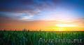 Продам фуражную кукурузу 6 000 тонн - Изображение #4, Объявление #1576524