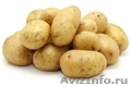 Качественный семенной картофель от производителя