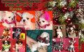 Чихуахуа чудесные щенки для шоу и души