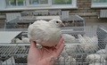 Куры перепелки индейки утки инкубационное яйцо навоз
