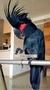 Пальмовый какаду (Probosciger aterrimus) - ручные птенцы из питомников - Изображение #2, Объявление #644540