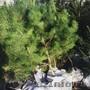 Где купить саженцы ель сосну березу в Москве и в Московской области