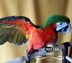 Арлекин (гибрид попугаев ара) - птенцы  из питомников Европы, Объявление #656202