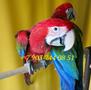 Зеленокрылый ара (Ara chloroptera)  ручные птенцы из европейских питомников - Изображение #2, Объявление #1336259