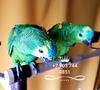 Синелобый амазон (Amazona aestiva aestiva) - ручные птенцы из питомников Европы - Изображение #2, Объявление #1510789