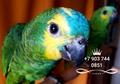Синелобый амазон (Amazona aestiva aestiva) - ручные птенцы из питомников Европы - Изображение #3, Объявление #1510789