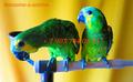 Синелобый амазон (Amazona aestiva aestiva) - ручные птенцы из питомников Европы, Объявление #1510789