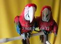 Попугаи   ара -абсолютно ручные птенцы из  питомников Европы - Изображение #3, Объявление #480042