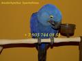 Попугаи   ара -абсолютно ручные птенцы из  питомников Европы - Изображение #4, Объявление #480042