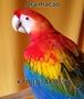 Попугаи   ара -абсолютно ручные птенцы из  питомников Европы - Изображение #5, Объявление #480042