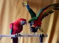 Попугаи   ара -абсолютно ручные птенцы из  питомников Европы
