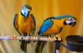 Попугаи   ара -абсолютно ручные птенцы из  питомников Европы - Изображение #2, Объявление #480042