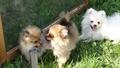 Подрощенные щенки померанского шпица - можно для вывоза - из питомника