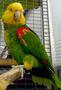 Желтоголовый амазон (Amazona oratrix) ручные птенцы из питомников - Изображение #3, Объявление #930269